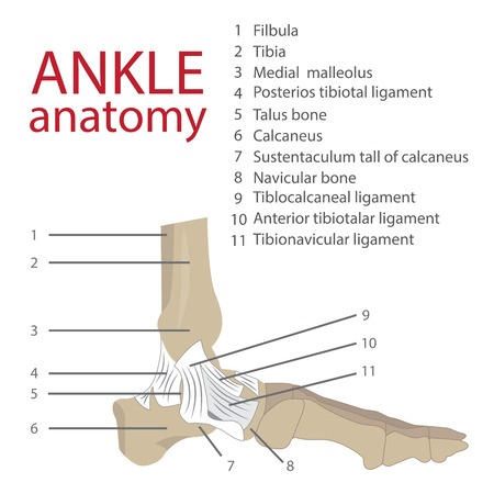 Ankle Anatomy diagram