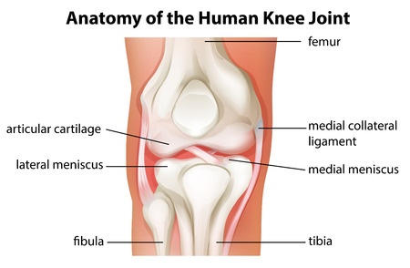 Knee injury treatment hurt911 drawing showing normal knee anatomy without injury ccuart Images