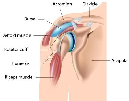 Shoulder Anatomy diagram